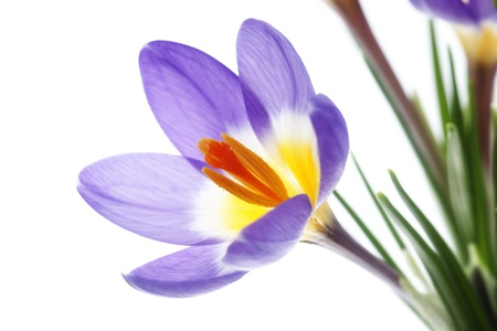 mauve: Crocus Tricolor in the Iris family with colors lilac, mauve, yellow and white