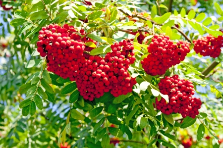 bunchy: Ashberry tree Stock Photo