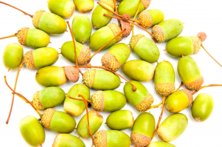 botanica: Green acorns