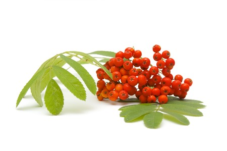ashberry: Ashberry on white  Stock Photo
