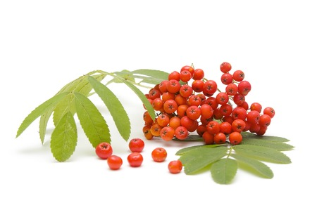 bunchy: Beauty ashberry Stock Photo