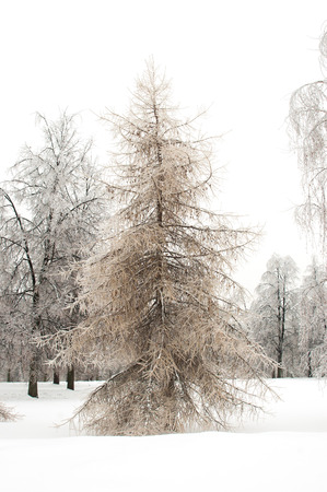 Larch in winter forest photo