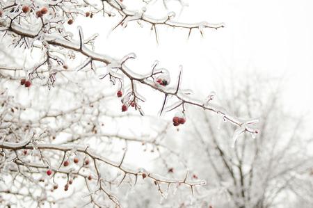 ashberry: Frozen rowan