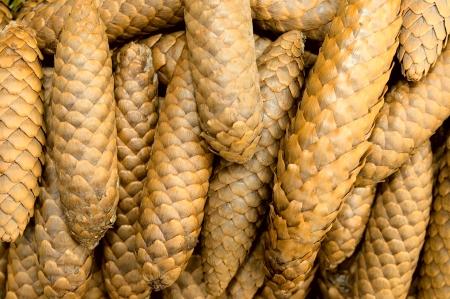 pinecones: Pine-cones  Stock Photo