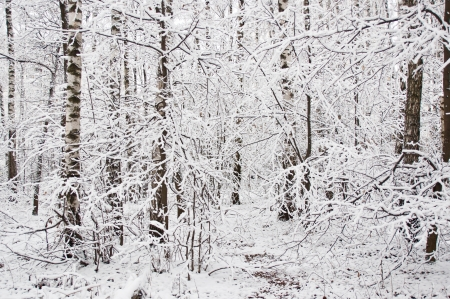 covert: Forest covert in winter