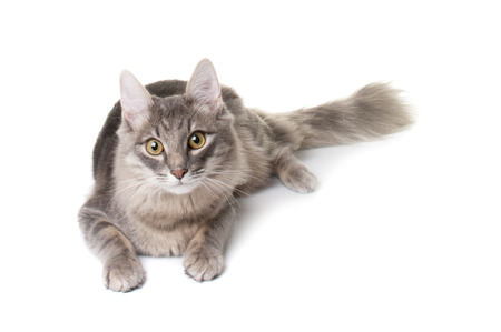 whiskar: Grey kitten on white background