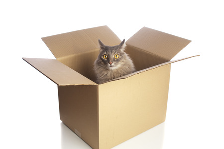 Grey cat in cardboard box