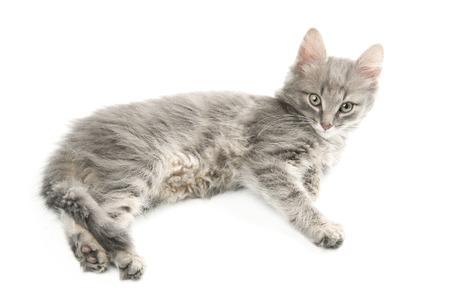 whiskar: Lying grey kitten Stock Photo