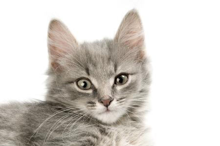whiskar: Grey fluffy kitten Stock Photo