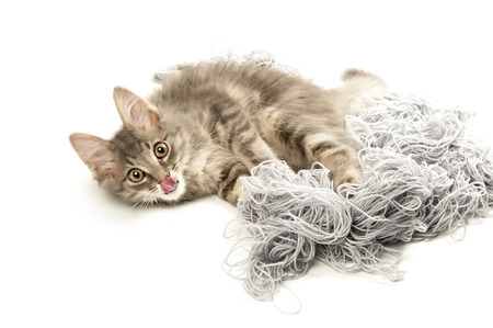 Grey kitten playing with yarn