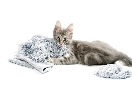 whiskar: Pretty grey kitten Stock Photo