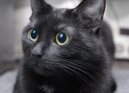 Black cat closeup photo