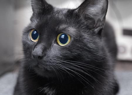 whiskar: Black cat closeup