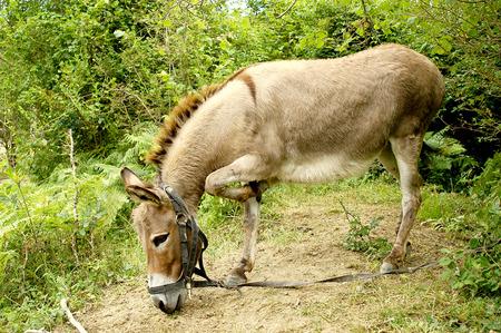 jack ass: Donkey in un bosco