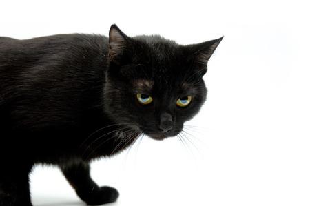 whiskar: Black cat on white background