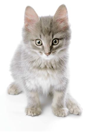 whiskar: Grey kitten closeup