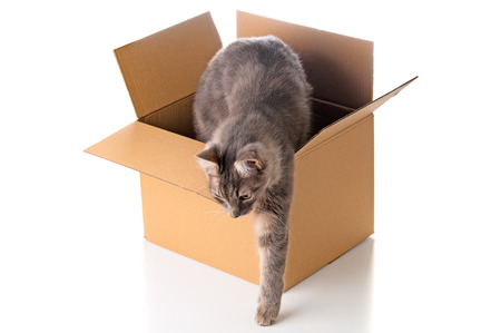 Grey cat gets out of the cardboard box