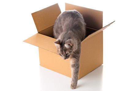 Graue Katze aus dem Karton erhält