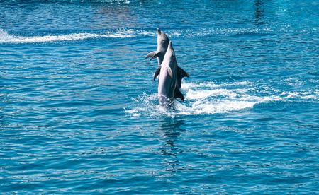 bottlenose: Bottlenose dolphins in aquarium Stock Photo