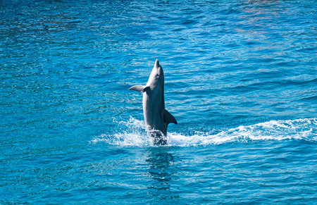 dolphin jumping: Dolphin jumping above blue water
