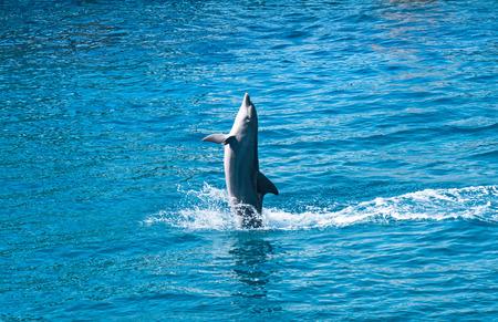 delfin: Dolphin skoków powyżej niebieskiej wody