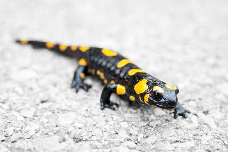 animals amphibious: Fire salamander