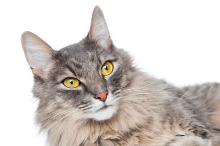 gray cat: Pretty gray cat closeup