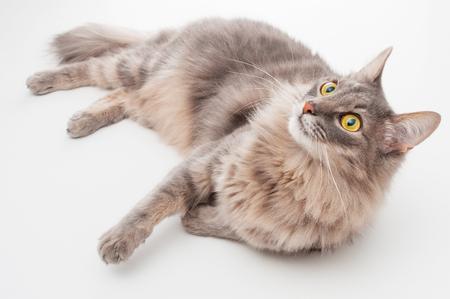 whiskar: Gray cat on white background
