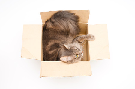 gray cat: Gray cat in cardboard box