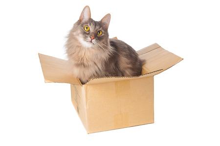 Graue Katze im Karton auf weißem Hintergrund Lizenzfreie Bilder