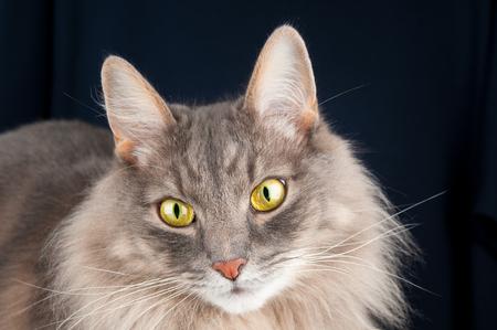 whiskar: Portrait of beautiful gray cat on black background
