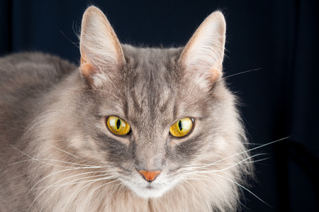 Adorable gray cat on black background Stock Photo