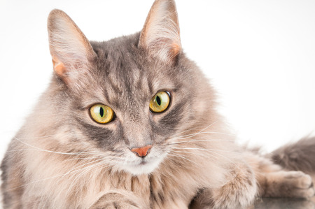 cat grooming: Household gray cat closeup on white background Stock Photo
