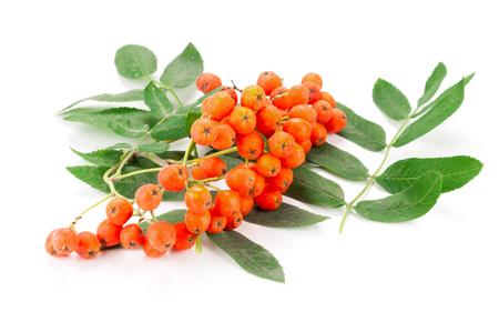 Ripe rowan berries close up isolated on white background Stock Photo
