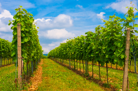 Beautiful landscape with summer vineyards