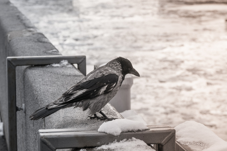 Crow in the city at river embankment