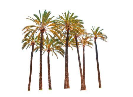 Few palm trees isolated on white background Stock Photo