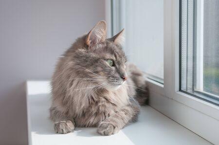 Fluffy gray cat looking at window on windowsill Stock Photo