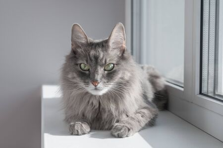 Serious gray cat sitting on windowsill at home Stock Photo