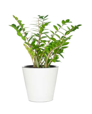 House plant in pot isolated on white background Stock Photo