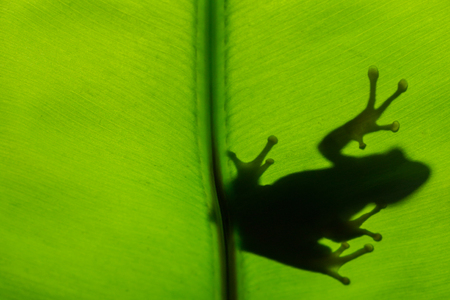 Frog shadow on the green leaf. Stockfoto