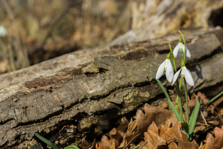 snowdrops sunny spring forest Stock fotó