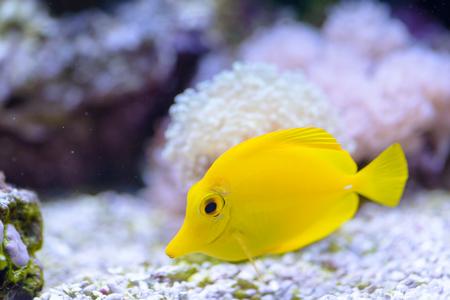 Yellow Tang or Zebrasoma Flavescens, in the marine aquarium. Stock Photo