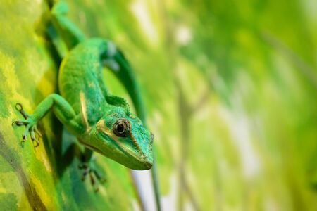 A Knight anole, Anolis equestris clings to the green background of the terrarium.