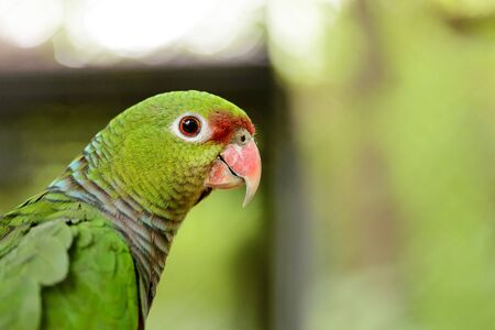 A large green parrot close-up, background 스톡 콘텐츠