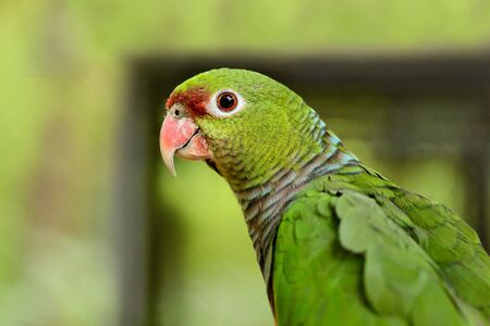 A large green parrot close-up, background 版權商用圖片
