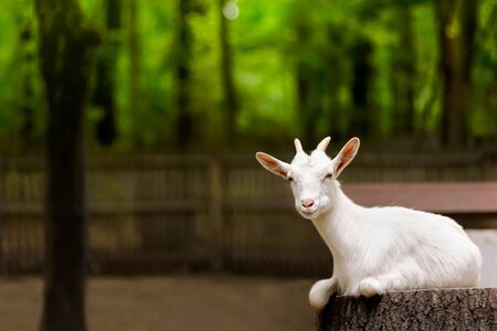 white domestic goat on the farm, green forest background