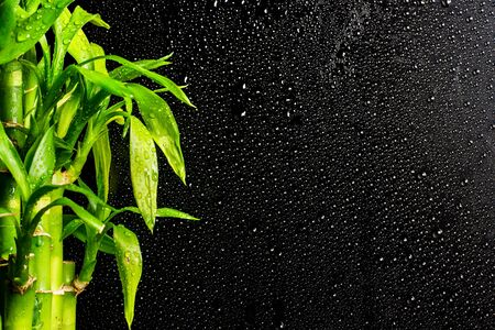 lucky bamboo branches on a black raindrop background 版權商用圖片