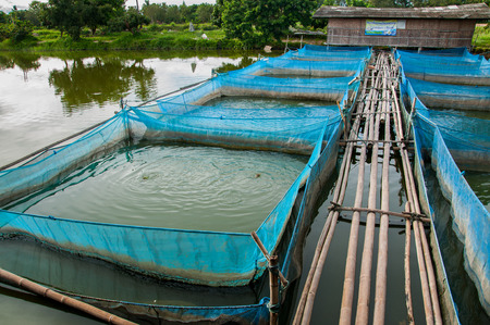 nile tilapia: Nile tilapia Fish farms with blue net and bamboo pathway Editorial
