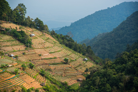 A plantation on a hill with moutain background at Doi Ang Khang , Chiang Mai, Thailand photo